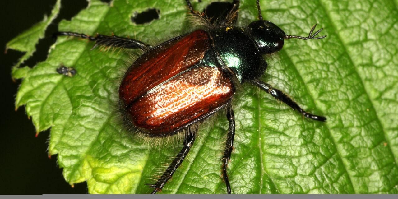Gåsebillernes larver ødelægger græssets rødder